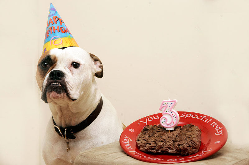 My American Bulldog Maggy on her 3rd birthday with a ground sirloin cake