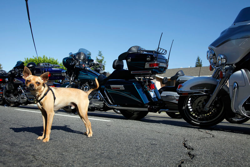 Dog Betty waits while owner Ralph Henderson, Reseda, looks at motorcycles along Vanowen Street during the West Valley 2nd Annual Motorcycle Memorial Ride at the Los Angeles Police Department West Valley Community Police Station on September 12, 2009 in Reseda, CA.